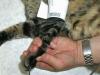 front-paw-probe-cuff-2